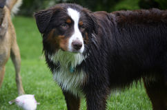 Large dog with wet fur. Black and brown dog with wet fur Royalty Free Stock Images