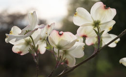 Large Dogwood Blossoms With sunlight Streaming Through Stock Image