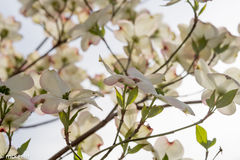 Large Dogwood Blossoms With sunlight Streaming Through Stock Photo