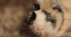 Domestic guinea pig stock footage