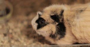 Domestic guinea pig. Large domestic guinea pig close-up stock video
