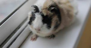 Guinea pig close-up. Large domestic guinea pig close-up stock video