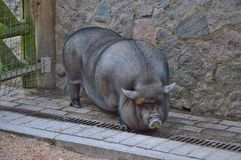 Large domestic pig ... stock image