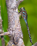 Large Dragonfly. A large dragonfly taking a break on a branch Royalty Free Stock Photography