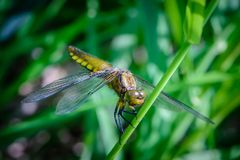 Large dragonfly with a yellow belly sits on a grass stalk. Large dragonfly of libellula depressa with a yellow belly sits on a grass stalk Royalty Free Stock Image