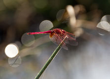 Large dragonfly. Macro. Big red dragonfly sits on a sunny day on the stem Stock Images