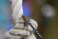 Large dragonfly migrant hawker Stock Photos