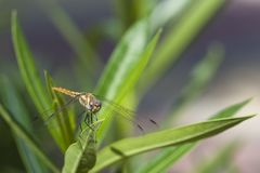 Dragonfly shot on a macro lens. Large dragonfly is shot on a macro lens royalty free stock image