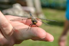Large dragonfly sitting on a middle finger royalty free stock photos