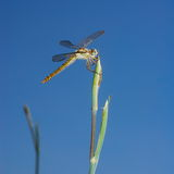 Large dragonfly on stem stock images