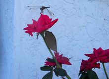 Large dragonfly stops atop a red rose. A large dragonfly stops for a rest on top of a red Knockout rose stock photo