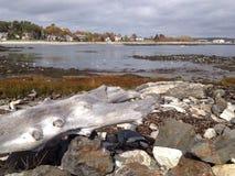 Large driftwood Royalty Free Stock Photo
