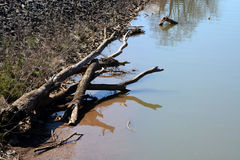 Large driftwood. The remains of a tree rests on the bank of a river stock photography
