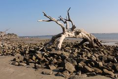 Large Driftwood Tree Stock Images