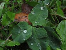 Large drops of dew on the grass. Fallen autumn leaves Stock Image