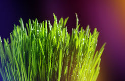 Large drops of dew on green grass. Colorful background. Macro view Stock Photo