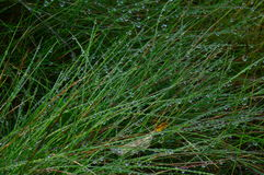 Large drops of dew on the green thick grass Stock Photography