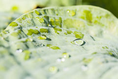 Large drops on a green leaf. Royalty Free Stock Photos
