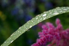 Large drops of rain on a flower leaf Stock Photography