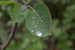 Large drops of rain similar to mercury on green leaves Stock Images
