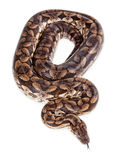 Large Dumeril's Boa Snake - Overhead View Royalty Free Stock Photo
