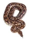Large Dumeril's Boa Snake - Overhead View Royalty Free Stock Photo