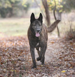 Large Dutch Shepherd Dog in a forest Stock Photography