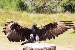 Large Eagle. Eagle performing at Raptor World nearby Plettenberg Bay South Africa Royalty Free Stock Photos