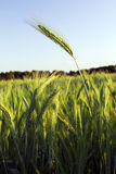 The large ear grain. One ear of a grain plant towering above a field with the same plants Stock Photography