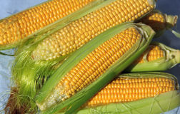 Large ears of ripe yellow corn. Corn crop, some corncobs with large yellow grains in green leaves royalty free stock images