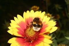 Large Earth Bumblebee (Bombus Terrestris) Royalty Free Stock Photo