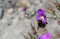 Bombus terrestris feeding. The large earth bumblebee, Bombus terrestris feeding on a bright purple flower. The bees tongue is extended into the nectary and is Stock Photos