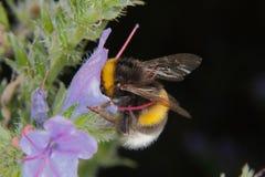 Large earth bumblebee (Bombus terrestris) Royalty Free Stock Photos