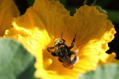 Bombus terrestris foraging for nectar, with pollen on body. The large earth bumblebee, Bombus terrestris foraging on a bright yellow pumpkin flower Cucurbita Royalty Free Stock Photos