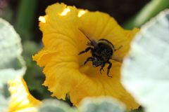 Bombus terrestris feeding. The large earth bumblebee, Bombus terrestris foraging on a bright yellow pumpkin flower Cucurbita pepo. The bee is covered in yellow Royalty Free Stock Images
