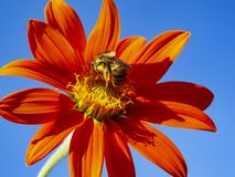 A large earth bumblebee feeding on a beautiful dahlia flower against clear blue sky. Beautiful close-up of a large earth bumblebee, bombus terrestris feeding royalty free stock image