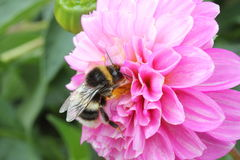 Large earth bumblebee feeding on a dahlia flower. Large earth bumblebee Bombus terrestris feeding on a dahlia flower. The bee has pollen on the top of its head stock images