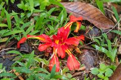 Large Earth Ginger flower in colorful red yellow blossoming on f. Orest ground at Fraser's Hill, Malaysia, South east Asia Etlingera coccinea royalty free stock photo