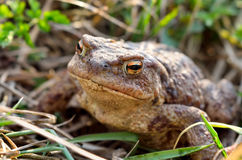 Large earth toad hunts from shelter in the dry grass Stock Photos