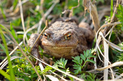 Large earth toad hunts from shelter in the dry grass Stock Image