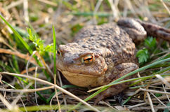 Large earth toad hunts from shelter in the dry grass Stock Photography