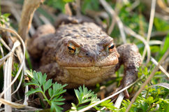 Large earth toad hunts from shelter in the dry grass Stock Photo