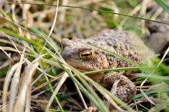 Large earth toad hunts from shelter in the dry grass Royalty Free Stock Photography