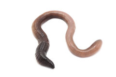 Large earthworm Stock Images