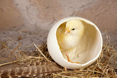Large egg small yellow chick. Small yellow easter chick in a big ostrich egg Stock Photography