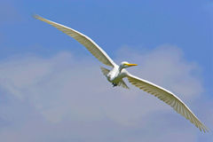 Large egret bird flying Stock Images