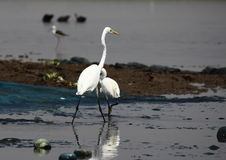 Large egret Royalty Free Stock Photo