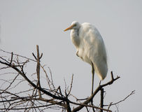 Large Egret (Casmerodius albus) Stock Photography