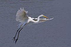 Large egret bird Stock Photography