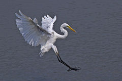 Large egret. Flying for foraging Stock Photo